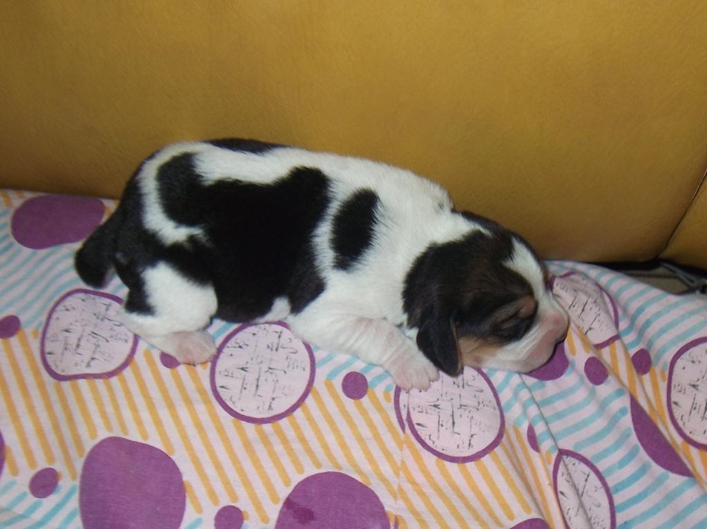 beagle cucciolo